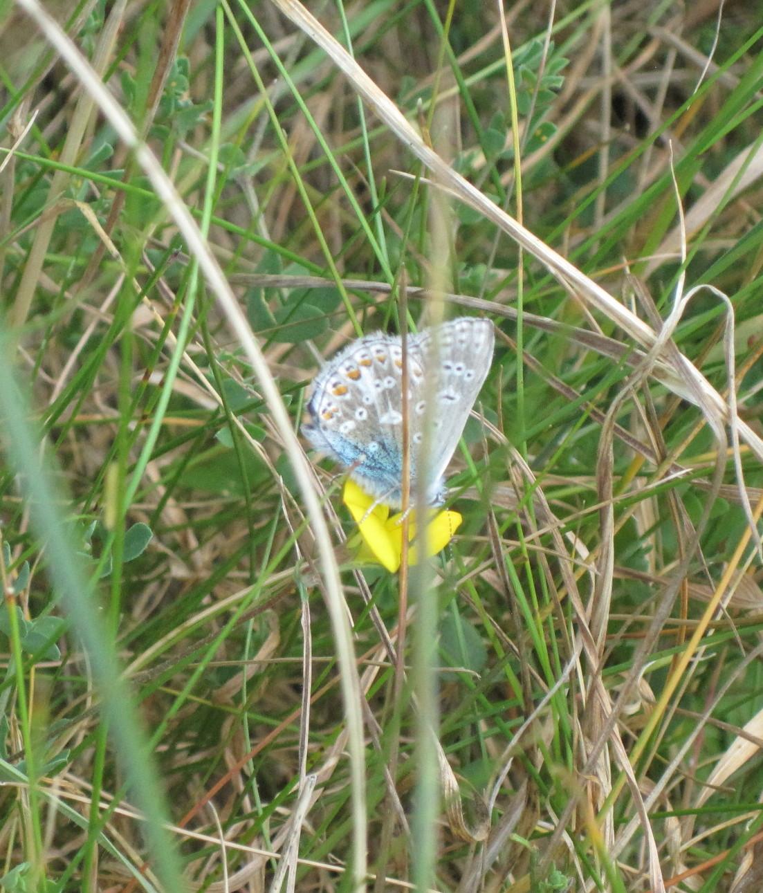 Blue dune lyme grass care - Common Blue Butterfly