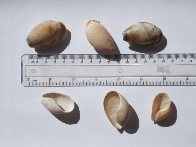 Scaphander shells