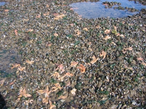 Starfish invading the mussel beds at Ellison's Scar, Allonby Bay (photo: Dr Jane Lancaster)