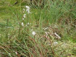 Bog cotton (Drumburgh)