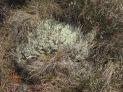 'Reindeer moss' (Kirkconnell)ll