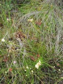 Whitebeaked sedge, sundew and cross-leaved heath