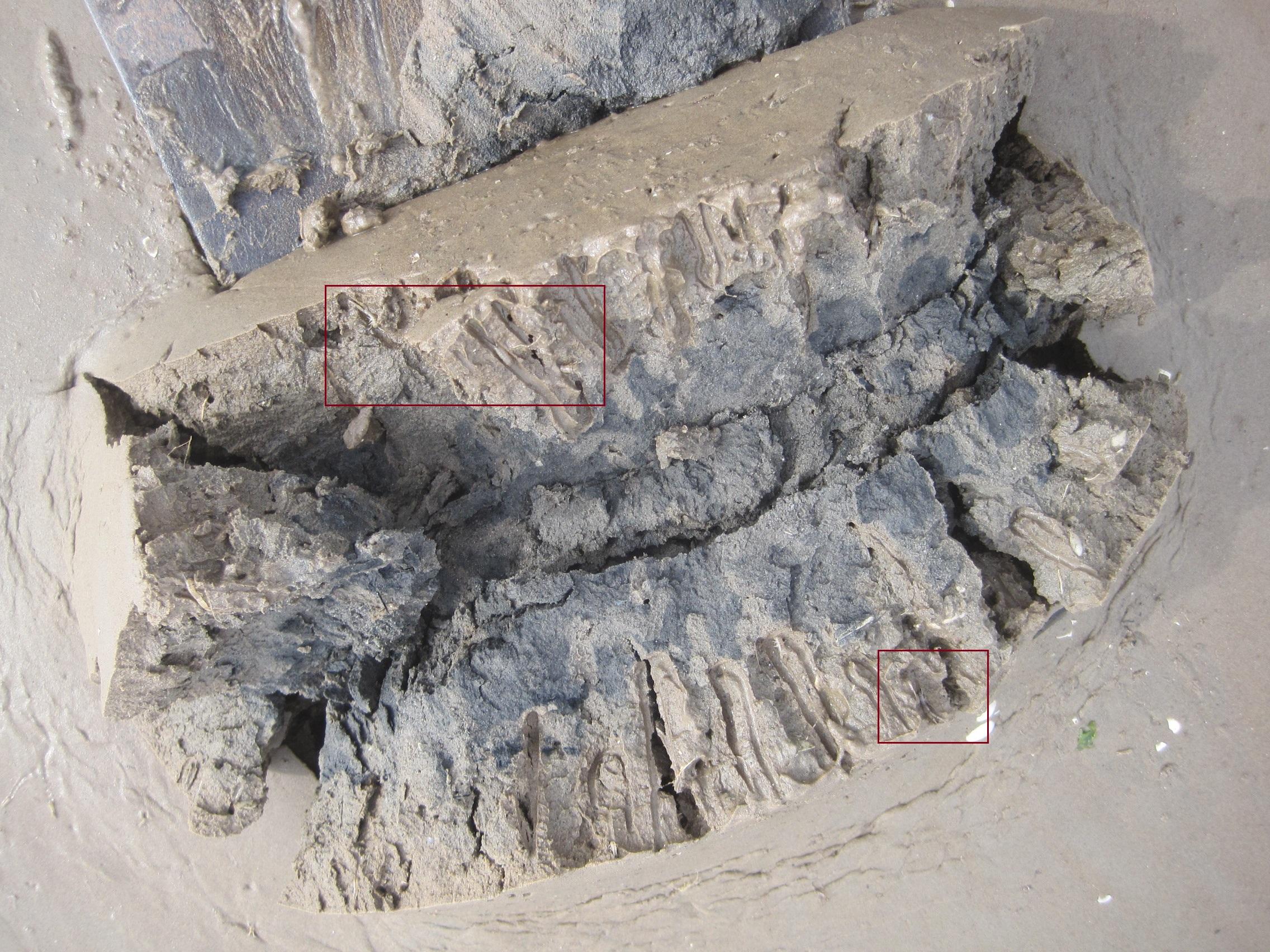 campfield corophium in burrows