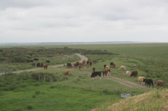Cattle on the merse